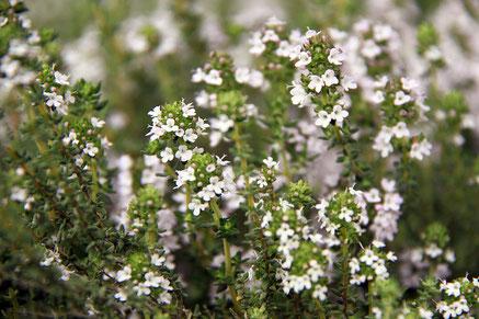 Blühender Thymian / Thymus vulgaris