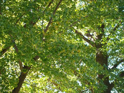 ●こちらはイチョウ。黄葉はこれからが本番ですね。同じく武蔵野の森公園にて。
