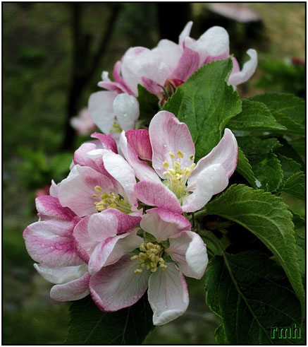 oriental cherry (Prunus serrulata)