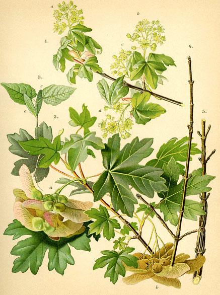 Quelle: Hempel und Wilhelm, Die Bäume und Sträucher des Waldes, Tafel XLVI, Wien 1889