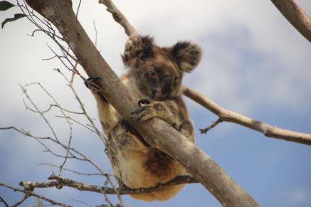 Adorable koala Australien !