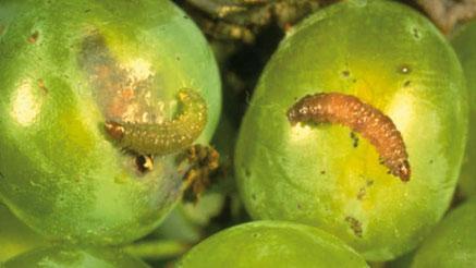 Eudémis se nourrissant de raisin