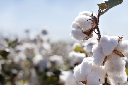 Better, but still a problem: Organic cotton. Image: Shutterstock