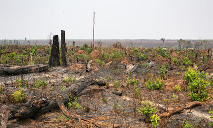 Hundreds of acres of recent logged and burned forest in Beng Per sanctuary. The line of trees on the horizon marks the boundary of a rubber plantation. Photo: Chris Humphrey.