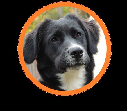 Diabetes Warnhund hier ausgebildet. Diese Diabetiker Hunde arbeiten für einen einzelnen Menschen. Diabetikerwarnhunde wie hier zu sehen, können Leben retten. Nach gründlicher Therapiehundeausbildung durch einen Assistenzhundetrainer. Diabetikerwarnhund