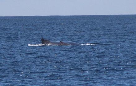 Rencontre inouïe avec une baleine bleue et son baleineau...