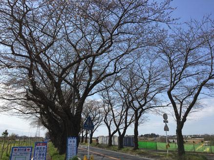 海軍道路(まだ咲いていない)