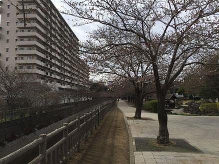 目久尻川(まだ咲いていない)