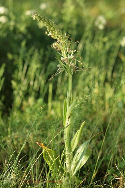 Orchis bouc, Himantoglossum hircinum Photographie Christian Coulais