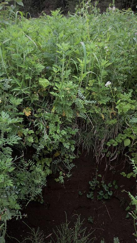 無農薬栽培のヨモギの通販@すどう農園