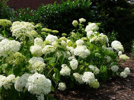 Gartenpflege, Gartengestaltung: Hortensienfeld im natürlich gestalteten Garten