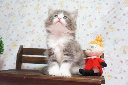 2番くん ノルウェージャン子猫