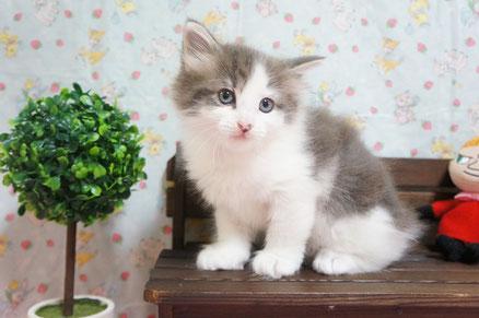 1番ちゃん ノルウェージャン子猫