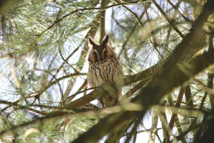 Waldohreule. Foto Willi Joss
