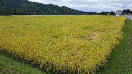 黄金色に色づく「魚沼産コシヒカリ」