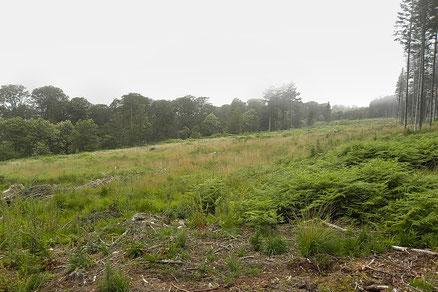 Forêt d'Ecouves, Parcelle n°377, 3 ans après la coupe rase, Fougère aigle, Molinie et Houlque ont colonisé la parcelle, 2017.
