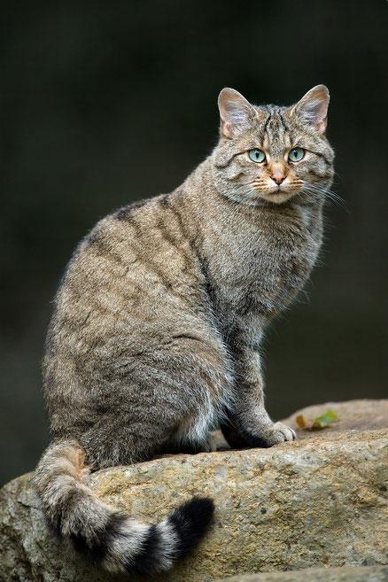 Europäische Wildkatze. Quelle: Lviatour - Eigenes Werk, CC BY-SA 3.0, https://commons.wikimedia.org/w/index.php?curid=24703445