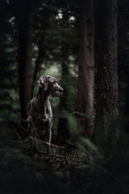 Eine blaue Dogge im dunklen Nadelwald bei düsterem Wetter.