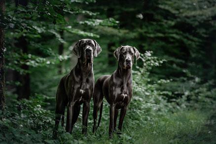 Blaue Doggen im Regen