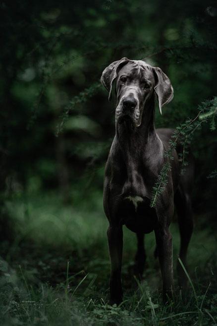 Eine blaue Dogge posiert im düsteren Wald unter ein paar Lärchenzweigen.