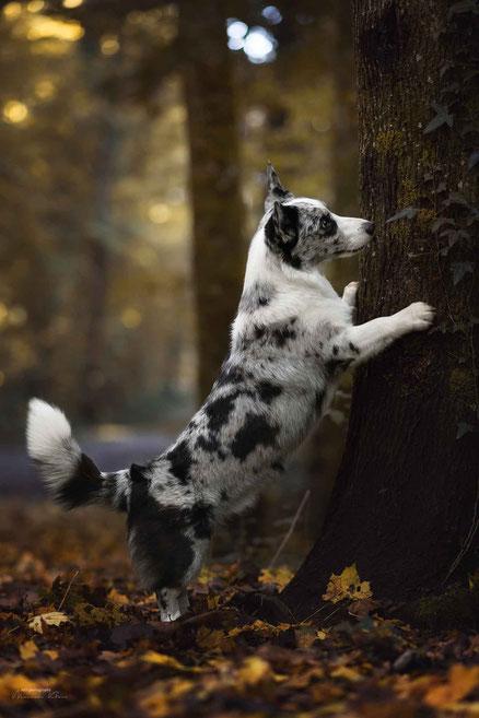 Corgie zeigt beim Hundeshooting ihren Trick am Baum
