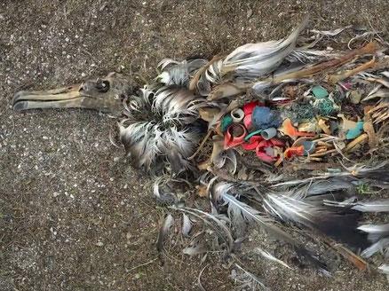 プラスチック片がお腹に詰まり、命を落とした海鳥