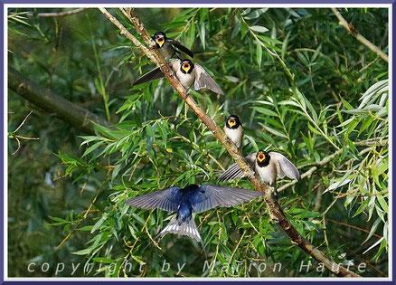 Nicht geteert, aber gefedert - Vögel (Aves)