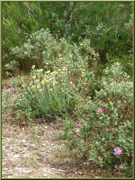 Cistes et immortelles en fleurs dans la garrigue des Alpilles (Bouche du Rhône)