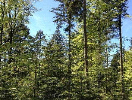 Gut stuktuierter Buchen-Tannen-Wald mit Naturverjüngung [© Foto: Dr. Gerhard Strobel]