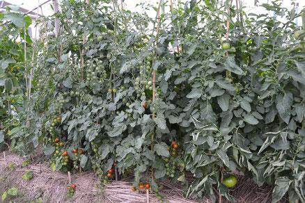 トマト大豊作賞