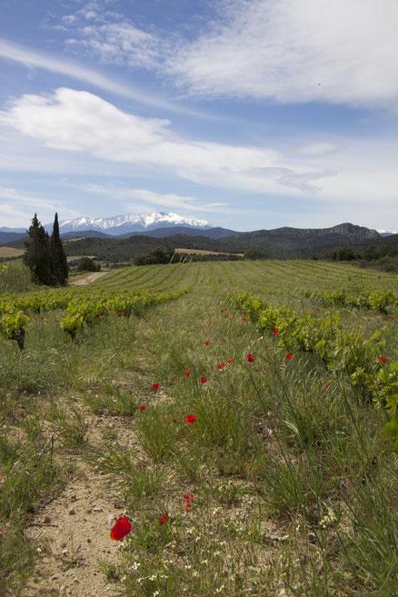 Un paysage de Lesquerde, au fond : le Canigou.