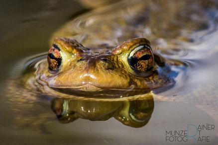 Erdkröten-Männchen, Kopf im Wasser