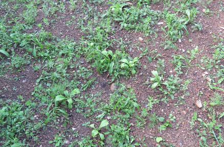 Wildblumenwiese 6 Wochen nach der Einsaat.