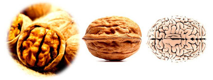 Cerveau et noix de grenoble theorie des signatures omega 3