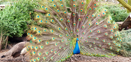 Pfau;Blauer Pfau;Hühnervögel