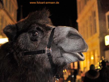 Kamel, Weihnachten in Verden