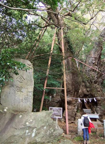 Itō - péninsule d'Izu - camphrier géant
