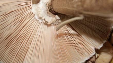 Pilzlehrfilm,Pilze mit Lamellen,Mobile Pilzschule,Dieter Honstrass,Algarve,Portugal