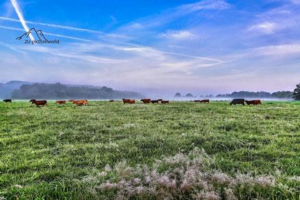 Bild: Kühe an der Ruhr bei Schwerte im Morgennebel