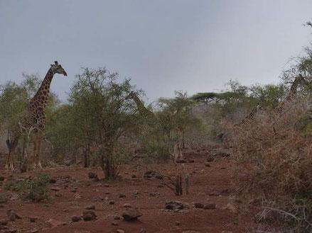 Les 1ere girafes que nous apercevont, et elles se trouvaient juste à 10 mètres de notre tente