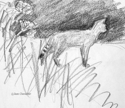 Chat forestier Felis sylvestris, croquis Jean Chevallier