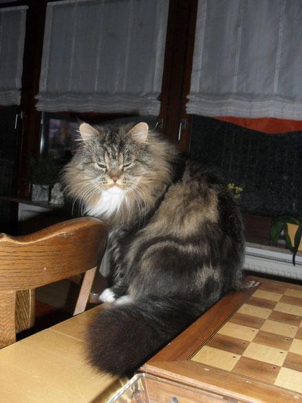 Garfield, unser  3 Jahre alter Main-Coon Perser Mix Kater