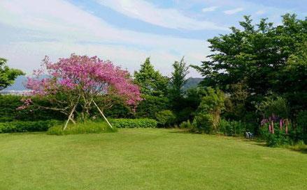 オオムラサキツツジと芝生