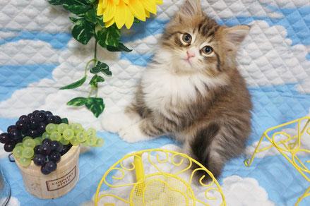 3番くんノルウェージャンフォレスト子猫ちゃん(8月30日撮影)