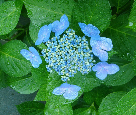 姉崎さんの句に出てくる紫陽花♪去年の6月、おとめ山の近くで撮影したんだよv(*'-^*)♪