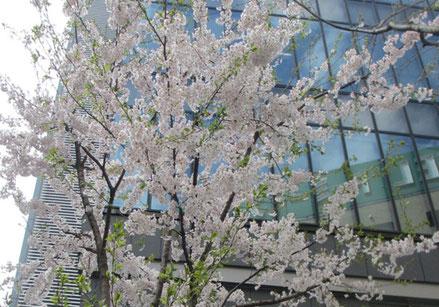 *仙台街中、青葉通り小路近くでお花見<ソメイヨシノ*そろそろ葉桜>