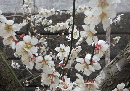 ⑬これは桜ではなく家の庭の満開になった梅の花。桜の季節ではめずらしい皆既月食。次回のこの季節の月食は20年近く後とのこと…さてその時期私はいったいいくつ?^_^;