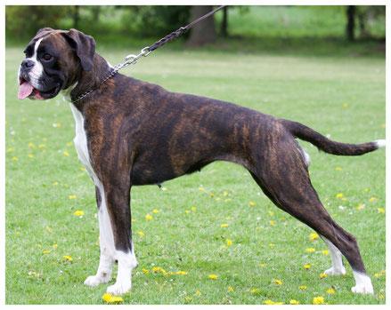 Europasieger Boxer Hund vonderwaldnielerheide