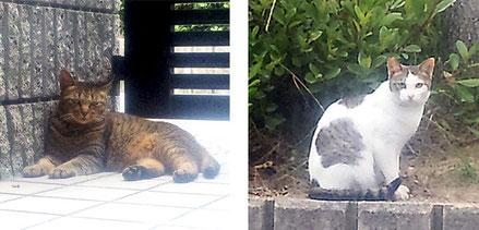 マチを慕っている親子猫、マンションかあちゃん(左)とヘーチャン(息子)。避妊・去勢済み