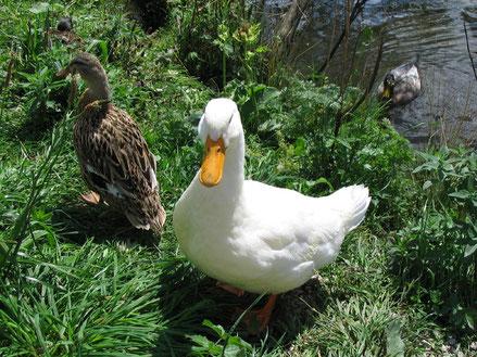 MAG Lifestyle Magazin Tierfoto Tierfotos Bilder Fotos Tiere Enten
